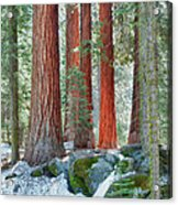 Standing Tall - Sequoia National Park Acrylic Print