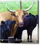 Standout Steer Acrylic Print