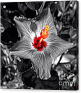 Star Bright Hibiscus Selective Coloring Digital Art Acrylic Print