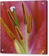 Star Gazer Lilly Macro Acrylic Print