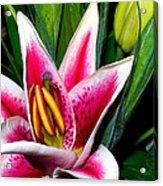 Star Gazer Lily Acrylic Print