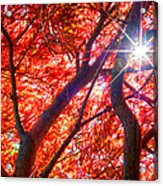 Star Light Thru Maple Acrylic Print
