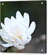 Star Magnolia Bloom Acrylic Print