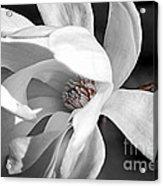 Star Magnolia Flower Acrylic Print