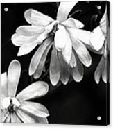 Star Magnolia In Black And White Acrylic Print
