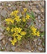 Star-of-bethlehem (gagea Peduncularis) Acrylic Print