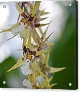 Star Orchids Acrylic Print