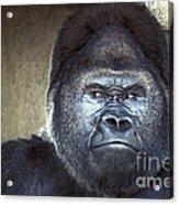 Stare-down - Gorilla Style Acrylic Print