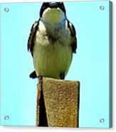 1 Swallow Never Makes A Summer Acrylic Print