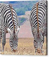Stares And Stripes Acrylic Print