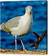 Starfish And Seagull Dance On The Rocks Acrylic Print by Carol F Austin