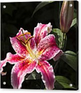 Stargazer Bloom And Bud Acrylic Print