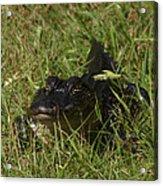 Staring Alligator. Melbourne Shores. Acrylic Print