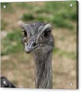 Staring Ostrich Acrylic Print