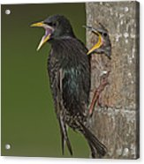 Starling And Young Acrylic Print