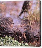 Starlings Fight Acrylic Print