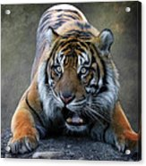 Startled Tiger Acrylic Print
