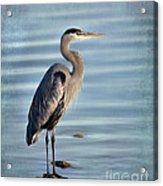 Stately-great Blue Heron Acrylic Print