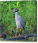 Stately Heron Acrylic Print