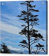 Stately Pine Acrylic Print