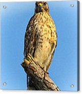 Stately Red-shouldered Hawk Acrylic Print by Barbara Bowen