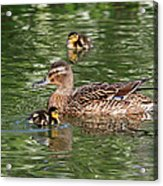 Staying Close To Mom Acrylic Print