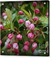 Apple Blossoms During A Rain Shower Acrylic Print