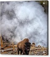 Steamed Bison Acrylic Print