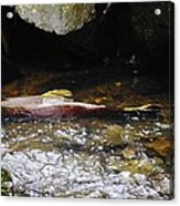 Steelhead Resting In The Shallows Acrylic Print