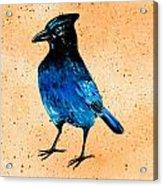 Stellar Jay Acrylic Print