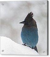 Steller Jay In The Snow Acrylic Print