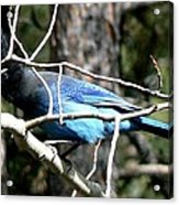 Steller's Jay - Peaking Through Branches Acrylic Print