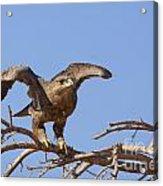 Steppe Eagle Aquila Nipalensis 1 Acrylic Print