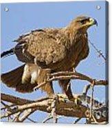 Steppe Eagle Aquila Nipalensis 2 Acrylic Print