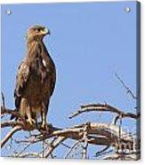 Steppe Eagle Aquila Nipalensis Acrylic Print