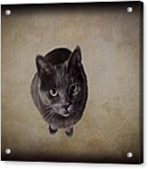 Sterling The Cat Acrylic Print
