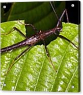 Stick Insect Feeding On A Leaf Acrylic Print by Science Photo Library