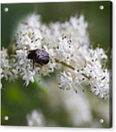 Stiff Dogwood Wildflowers And Beetle Acrylic Print