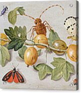 Still Life Of Branch Of Gooseberries Acrylic Print by Jan Van Kessel