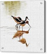 Stilt And Avocet Eat Together Acrylic Print