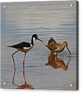 Stilt And Dowitcher  Acrylic Print