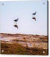 Stilt Birds Acrylic Print
