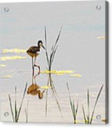 Stilt Chick Exploring Its New World Acrylic Print
