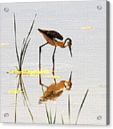 Stilt Chick Looking For Food Acrylic Print