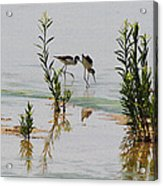 Stilts Hunting And Pecking Acrylic Print