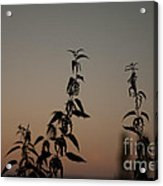 Stinging Sunset Acrylic Print