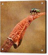 Stinkhorn Mushroom - Fly Acrylic Print