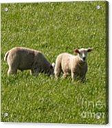 Stirling Sheep Acrylic Print