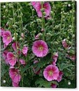 Stokrose Pink Acrylic Print