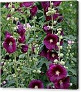 Stokrose Purple Acrylic Print